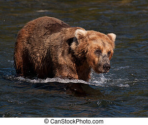 Alaskan brown bear walking through water - A large Alaskan...