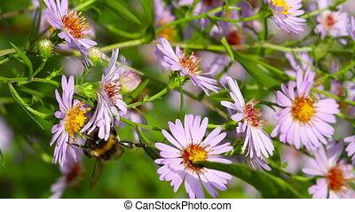 bee on flowers, macro