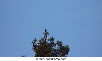 magpie perched on a tree,  flying birds in the background