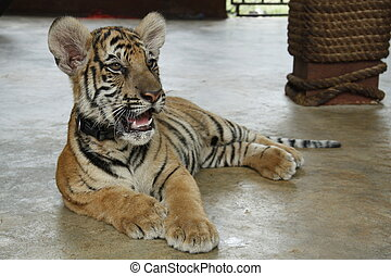 Tiger Cub - A Close up Photo of a Tiger Cub