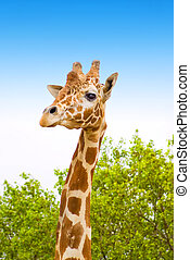giraffe on africa - giraffe with green trees and blue sky