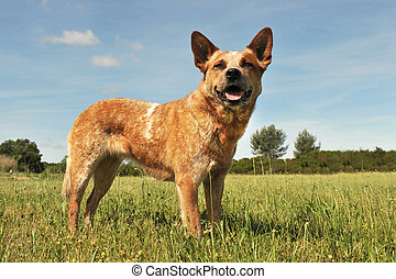 australian cattle dog - red australian cattle dog upright in...
