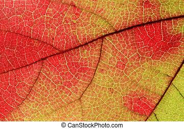 fall leaf macro - macro image of fall maple leaf turning...