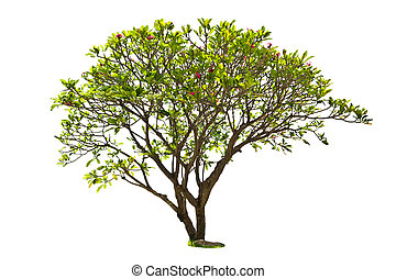 plumeria tree isolated