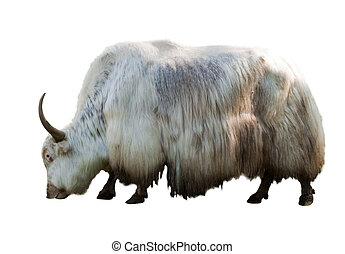 grunting ox  over white background with