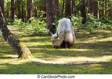 yak  in forest area - White yak  in forest area