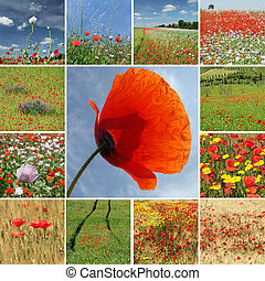 mix with poppies  - scenic views with poppies, Italy