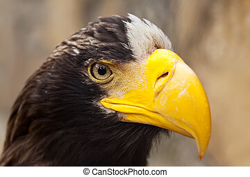 Closeup of Stellers sea eagle against nature background