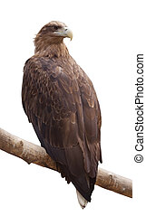sea eagle Isolated over white - sea eagle sitting on wood...