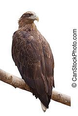 sea eagle Isolated over white - sea eagle. sitting on wood...