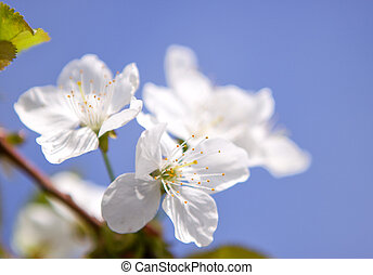 Apricot blossoms against the blue sky