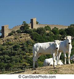 Chianina cows and Monticchiello in Tuscany...