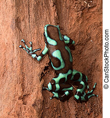 golden poison dart frog dendrobates auratus poisonous animal...