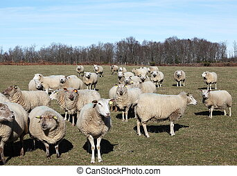 Inquisitive Flock Of Sheep