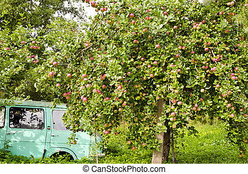 old car and apple tree in the garden