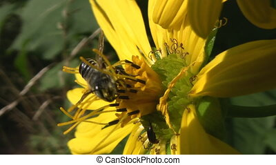 Wasp on flower. - A wasp collects pollen from a yellow...