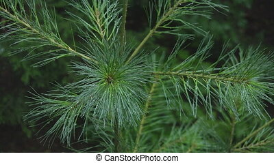 Beautiful pine branch needles.