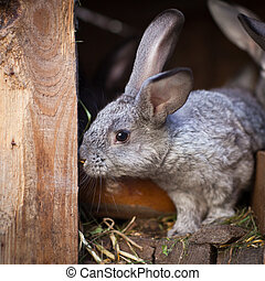 Young rabbits popping out of a hutch European Rabbit -...