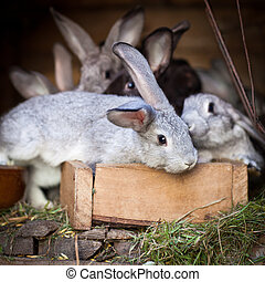 Young rabbits popping out of a hutch (European Rabbit -...