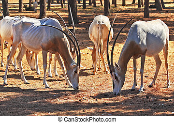 A herd of wild goats scimitar horned oryx graze peacefully...