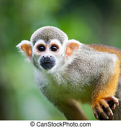 Close-up of a Common Squirrel Monkey Saimiri sciureus;...