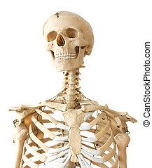 Human skeleton - Mediacl visual aid - human skeleton on...