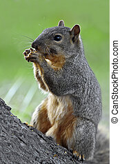 Eastern Fox Squirrel - A close up shot of a Eastern Fox...