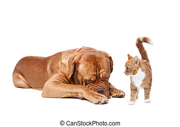 dog and Cat - A big dog and a small cat in front of a white...