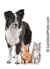 Border collie and two kittens - Border collie sheepdog...