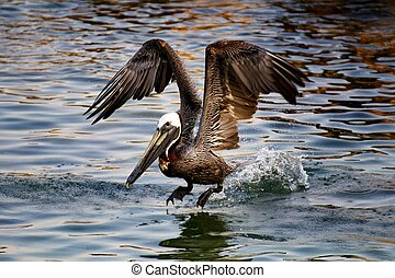 Pelican Taking Off - A pelican taking off from the coastal...