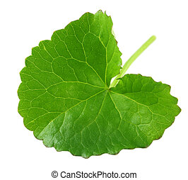 Herbal Thankuni leaf of indian subcontinent