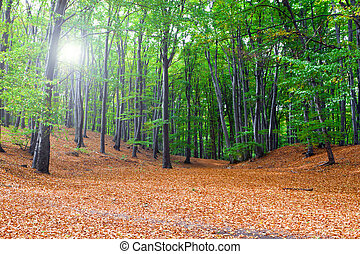 Forest clearing leaves, the autumn sun. - The woods, the sun...