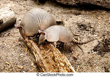 Armadillo Mother and Baby - A mother armadillo and her baby...