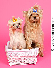 Two puppies girl bitch and boy male in the basket isolated