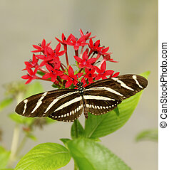 Beautiful Zebra Longwing - A zebra longwing butterfly on red...