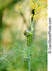 Black Swallowtail Caterpillar - A black swallowtail...