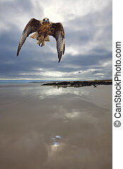 Galapagos Hawk flying on the Tortuga bay beach