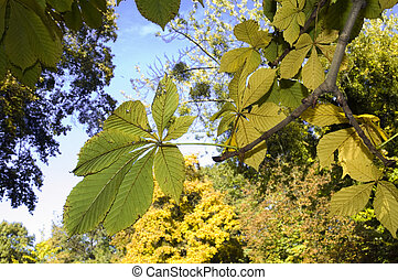Leaves of horse-chestnut - Horse-chestnut (Aesculus...
