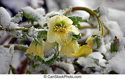 Hellebore Flowers Blooming In Snow - White hellebore flower,...