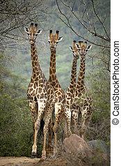 Four young Giraffe - Inquisitive young Giraffe