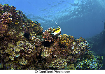Reef in Kona Hawaii with Moorish Idol and Raccoon...