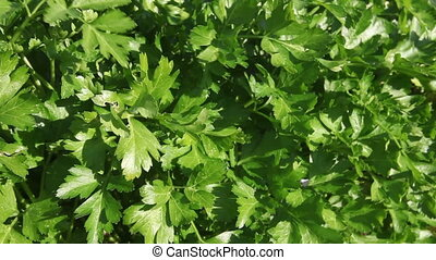 Parsley plant in the garden - Parsley plant