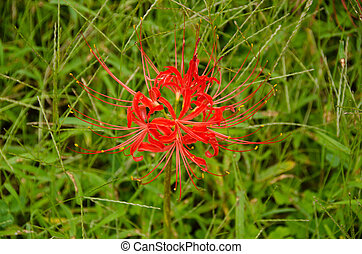 Red spider lily, Lycoris radiata - Flower of the Red spider...