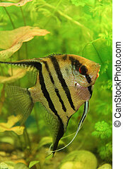 nice scalar fish with green aquarium background