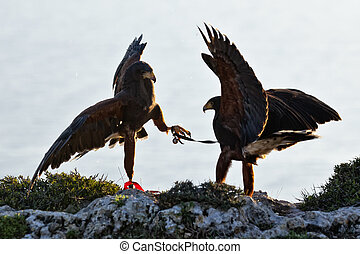 Dominance - A light territorial fight between two falcons,...