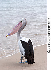 Lonly Pelican - a lonely pelican standing on the sand,...