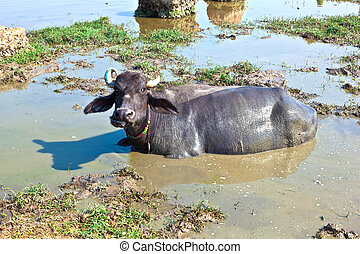 cow has a rest in the lake of the village