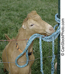 Goat chewing on rope attached to fence at HH Ranch Hiram...
