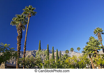 Fan Palms Trees Palm Springs California washingtonia...