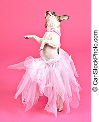 Dog with fluffy dress dancing, against pink background